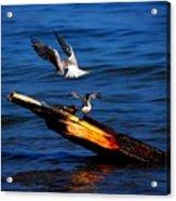Two Terns A Tango Acrylic Print