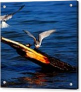 Two Terns Today Acrylic Print by Amanda Struz