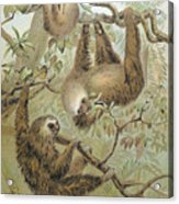 Two-toed Sloth Acrylic Print