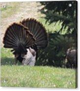 Two Tom Wild Turkeys Sparring To Impress A Hen Acrylic Print