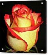 Two Tone Rose Acrylic Print