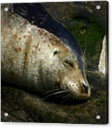 Two Tone Seal Acrylic Print