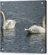 Two Trumpeter Swans At Oxbow Bend Acrylic Print