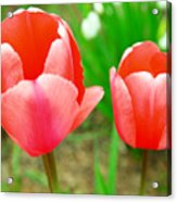 Two Tulips In Bloom  Acrylic Print