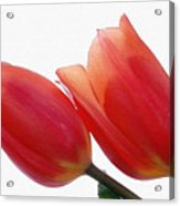 Two Tulips With Watercolour Effect Acrylic Print