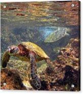 Two Turtles Acrylic Print by Bette Phelan