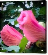 Two Unopen Pink Hibiscus Flowers Acrylic Print
