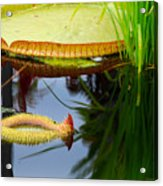 Two Victoria Water Lilypads Acrylic Print