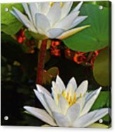 Two Water Lilies 004 Acrylic Print