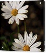 Two White Daisies  Acrylic Print
