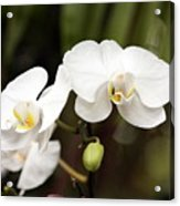 Two White Orchids Acrylic Print
