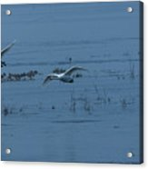 Two Whooper Swans In Flight Acrylic Print