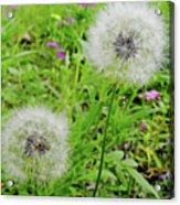 Two Wishes Acrylic Print