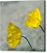 Two Yellow Blossoms Acrylic Print
