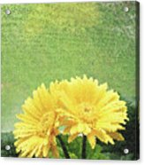 Two Yellow Gerber Daisies Acrylic Print