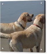 Two Yellow Labs Wait In Anticipation Acrylic Print