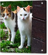 Two Young Cats Acrylic Print