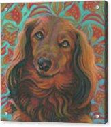 Long-haired Dachshund Acrylic Print