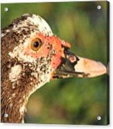 Ugly Duck Acrylic Print
