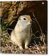 Uinta Ground Squirrel Acrylic Print