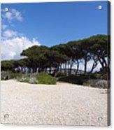Umbrella Pine, Lerins Island Acrylic Print