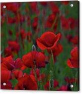 Umbria  Poppies 2 Acrylic Print