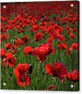 Umbria  Poppies 3 Acrylic Print