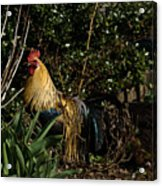 Uncle Rooster Acrylic Print
