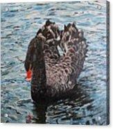 Under Full Sail Black Swan Acrylic Print