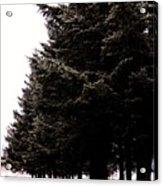 Under The Blue Spruce Acrylic Print