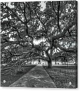Under The Century Tree - Black And White Acrylic Print