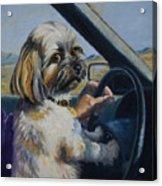 Underage Driver Acrylic Print