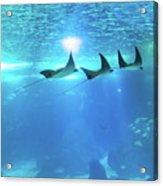 Underwater Manta Background Acrylic Print