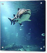 Underwater View Of Shark And Tropical Fish Acrylic Print by Rich Lewis