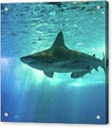 Underwater White Shark Acrylic Print