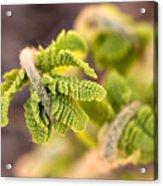 Unfolding Fern Leaf Acrylic Print