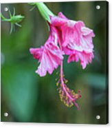 Unfolding Of A Hibiscus Acrylic Print