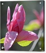 Unfolding - Star Magnolia Acrylic Print