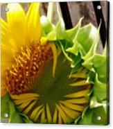 Unfolding Sunflower Acrylic Print