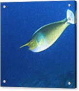 Unicorn Fish 2 Acrylic Print