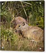 Unita Ground Squirrel Acrylic Print