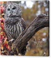 Untitled Owl Acrylic Print