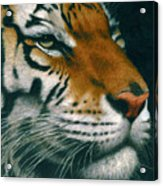 Untitled Tiger Acrylic Print