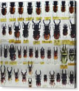 Unusual Pattern Made Out Of Many Stag Beetles Of Different Sizes Acrylic Print