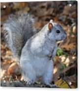 Unusual White And Gray Squirrel Acrylic Print