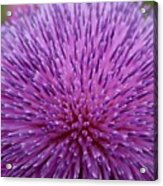 Up Close On Musk Thistle Bloom Acrylic Print
