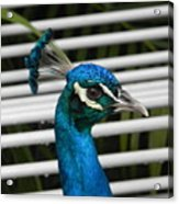 Up Close Peacock Acrylic Print