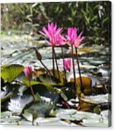 Up Close Water Lilies  Acrylic Print