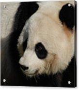 Up Close With A Gorgeous Giant Panda Bear Acrylic Print