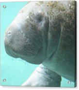 Up Close With A Manatee Acrylic Print